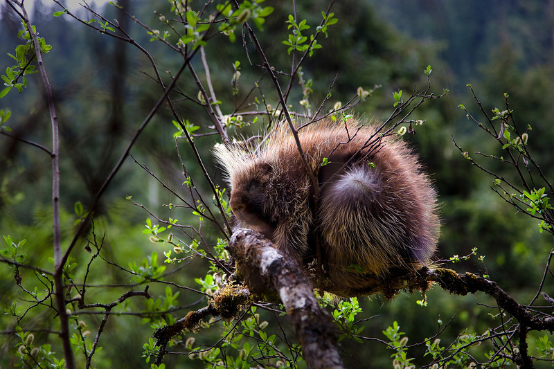 Porcupine in the hills around Mendenhall Glacier