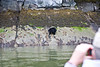 Black Bear in Tracey Arm lloking for clams