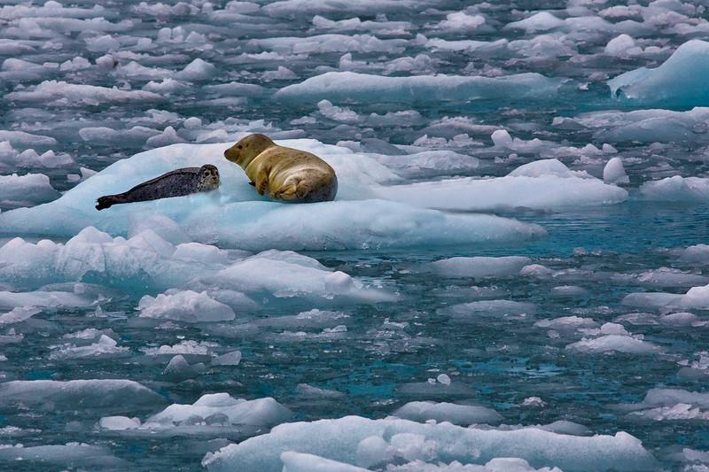 Mama and baby harbor seal