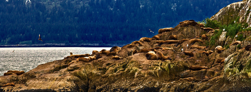 sea lions panorama