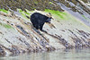 Black Bear hunting for Clams - Tracey Arm