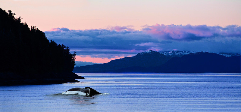 Humpback Whale dives at sunset