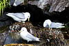 Black-legged Kittewakes