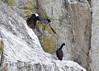 Brandt's cormorant; Black bird in flight Kenai Alaska