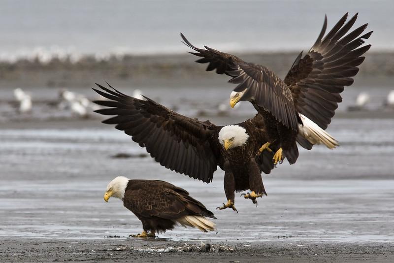 Bald Eagles see the same food. Kenai Alaska. Awarded HM in 2010 NFRCC slide competition.