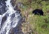 Black Bear_1217 Kenai Alaska