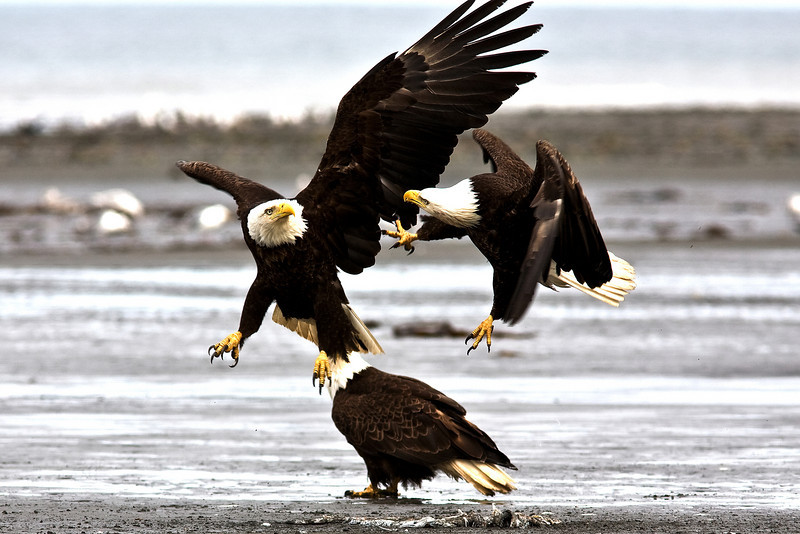 Bald Eagles fighting over Food Kenai Alaska