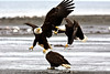 Bald Eagles fighting over Food Kenai Alaska