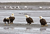 Four Bald eagles Kenai Alaska