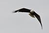 Bald Eagle along the Homer Spit Kenai Alaska