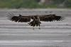 young eagle Kenai Alaska