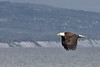 Eagle_in Homer Kenai Alaska