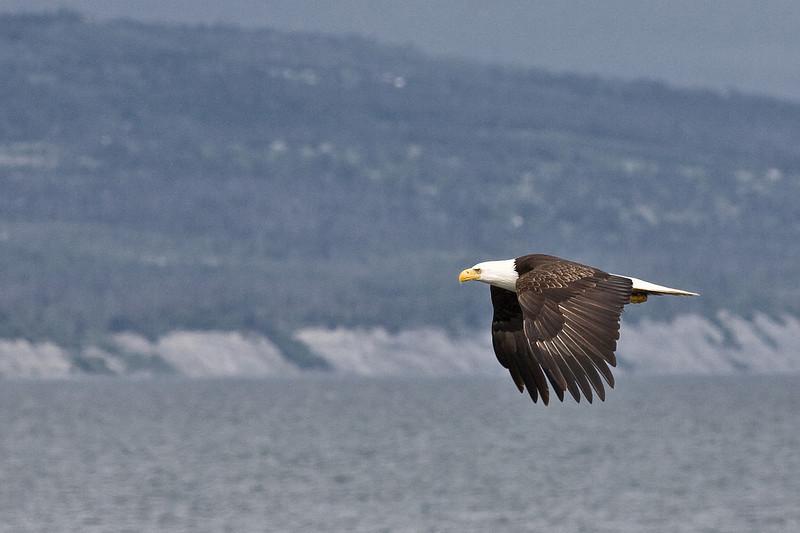 Eagle_in Homer Kenai Alaska