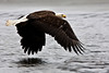 Bald eagle skimming the water. Kenai Alaska
