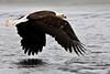 Bald eagle skimming the water. Kenai Alaska