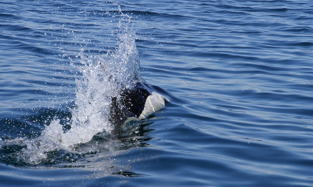The speedy and elusive Dall's Porpoise plays with our boat in Prince William Sound, AK