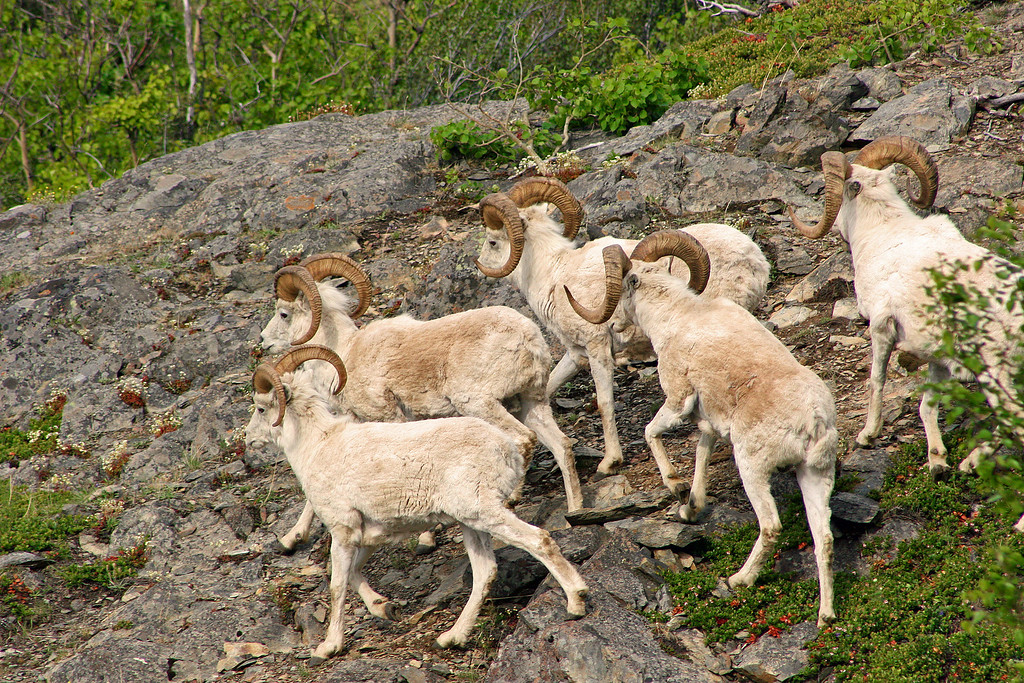 A few dall sheep gather in the Chugach Mountains overlooking Turnagain Arm.