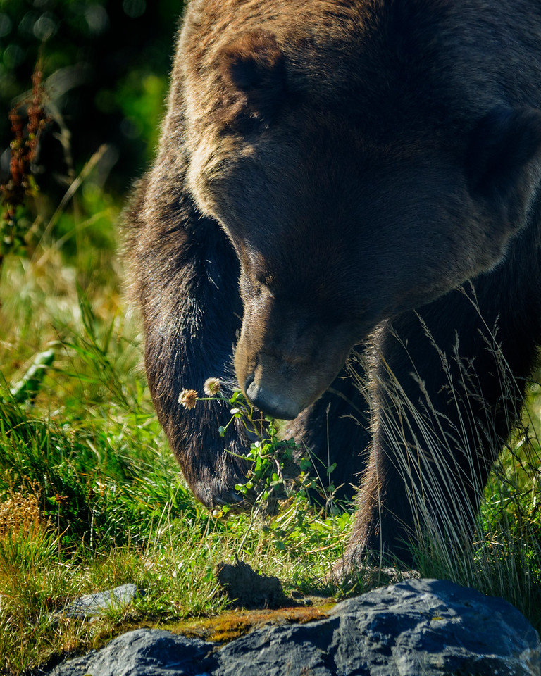 Alaska Wildlife Conservation Center- Grizzly
