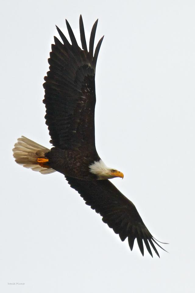 Bald Alaska Eagle In Flight