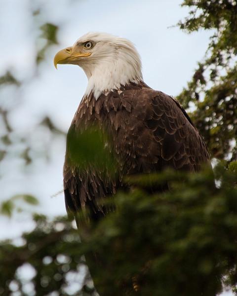Bald Eagle, Sitka Alaska