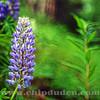 Flower_Alaska_9S7O9318_v2