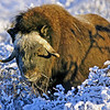 Musk Ox in snow