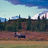 The moose are hard to miss in Alaska as they are enormous.