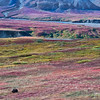 Two bears grazing the hills in Denali National Park. The red/purple flora are blueberry bushes.