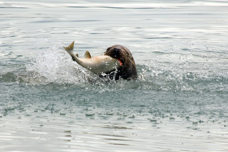Valdez, Ak Harbor, seal eating pink salmon during summer run