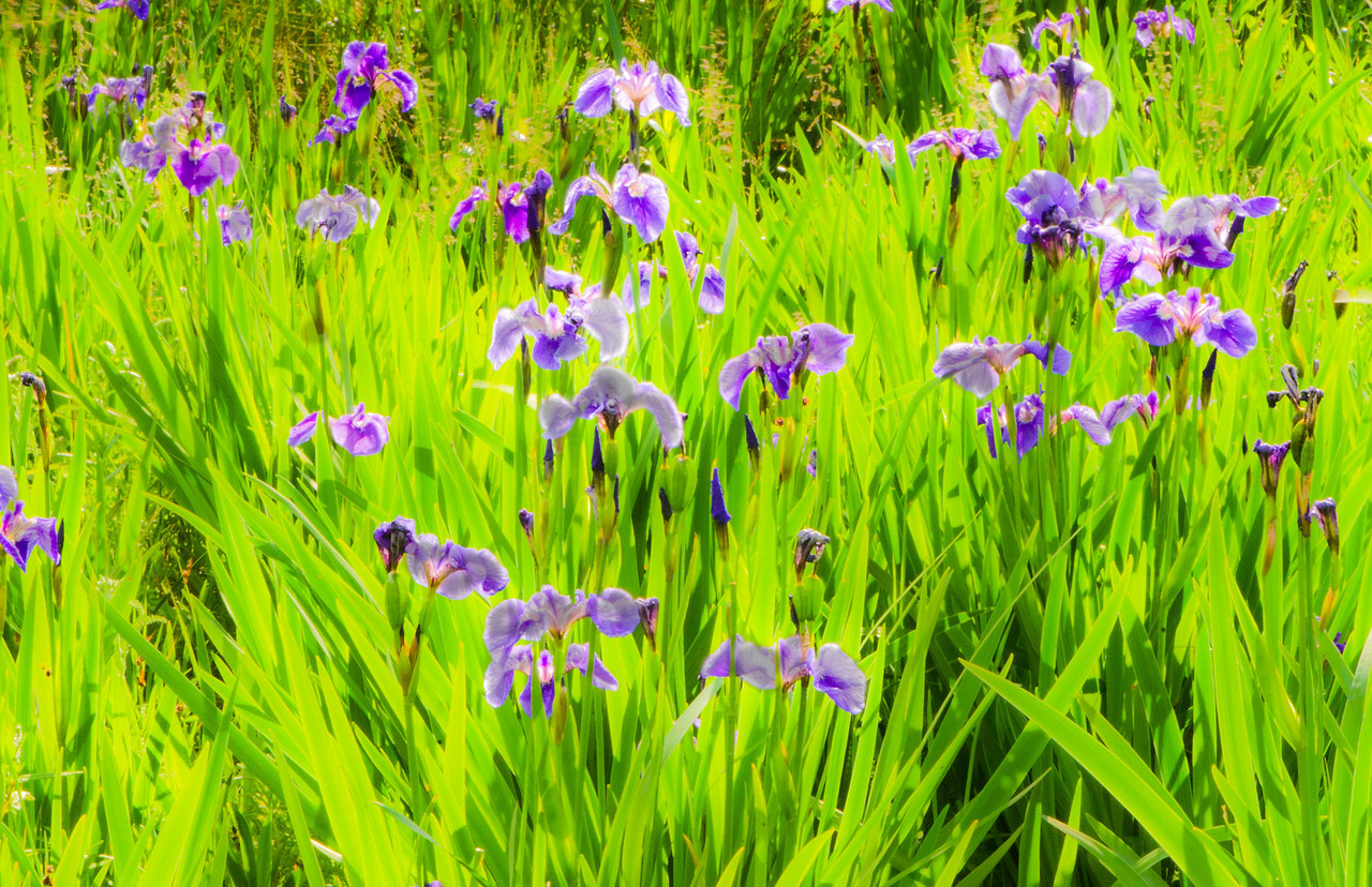 Wild Irises growing near Denali Park