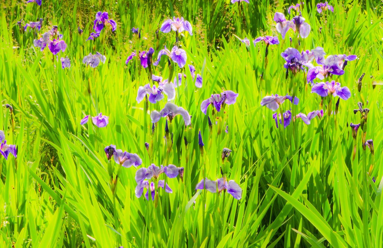 Wild Irises growing near Denali Park
