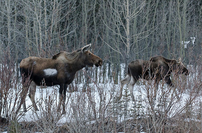 Moose with albino spot. Parks Hwy. Mar 10