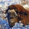Musk Ox, Alaska