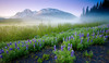 Alaska, Chugach National Forest, Seward Highway, Sunrise, Fog, Wildflowers, Landscape,  阿拉斯加 风景
