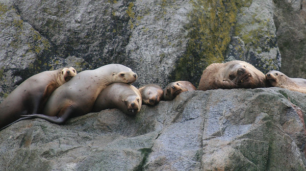 """Hanging out"" - Stellar Sea Lions, Chiswell Islands,  Kenai Fjords National Park"