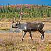 The wildlife was plentiful in Denali National Park. Here a caribou wanders past.