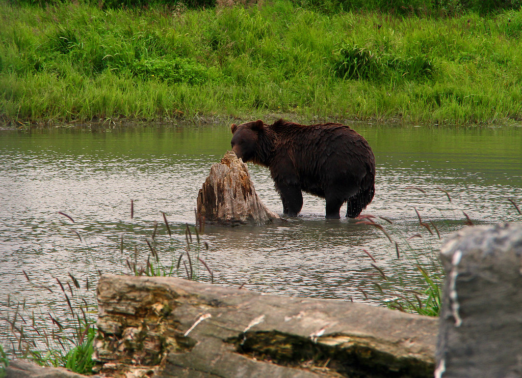 A bear explores the remains of a tree stump in Placer Creek near Portage, AK