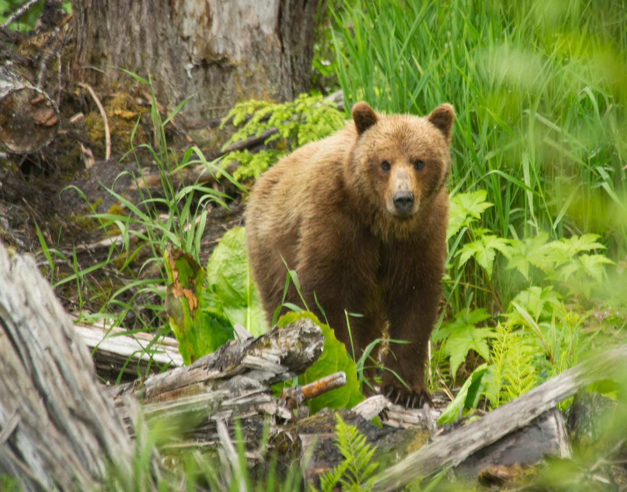 Brown Bear on Chichagof Island, AK