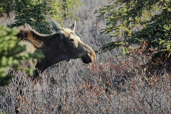 moose, Denali National Park