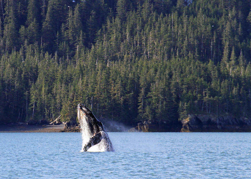 A Humpback Whale some how manages to thrust his body from Prince William Sound in a spectacular display of raw power!