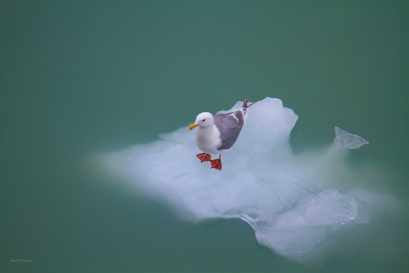 Sea Gull On Ice