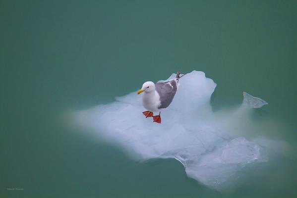 Sea Gull On Ice