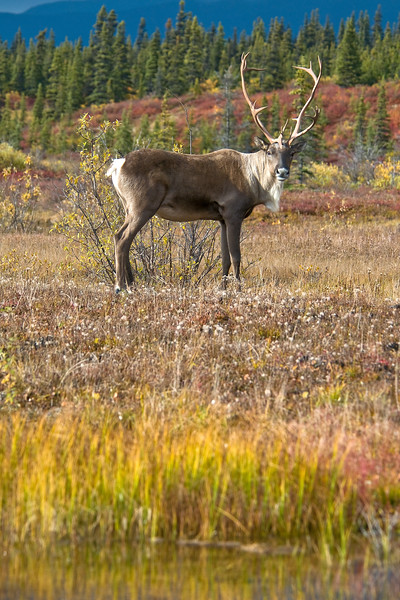 A caribou stares concernedly in my direction.