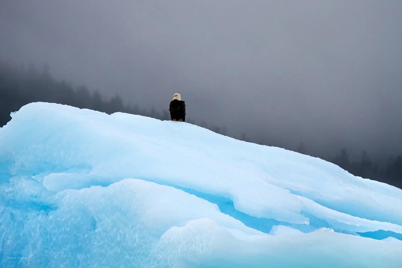 Eagle On ice