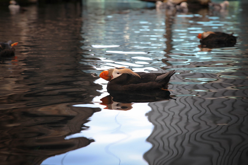 puffin, Alaska Sealife Center
