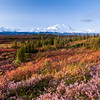 Morning sun sweeps across the tremendously varied flora in Denali National Park.