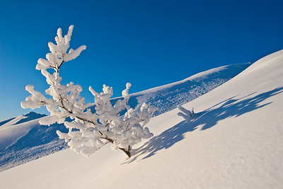 A rime covered alder with cornice avalanche debris the background.Hatcher Pass, Alaska
