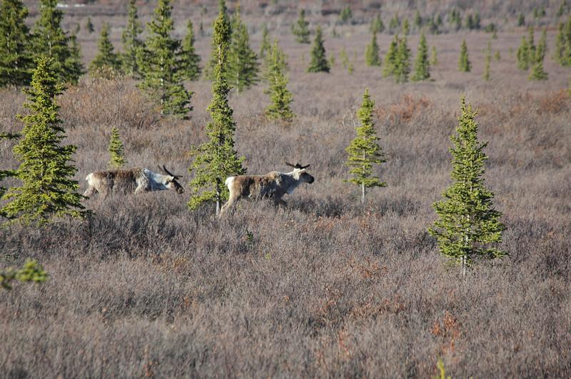 moose, Denali National Park