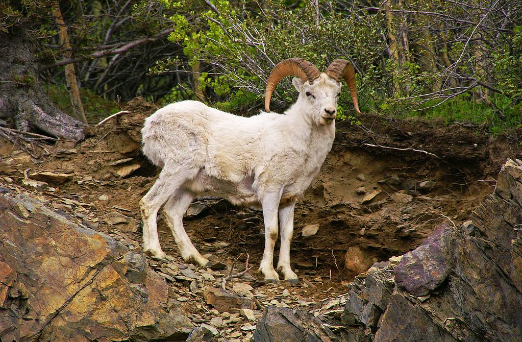 Dall Sheep in Chugach Mountains.
