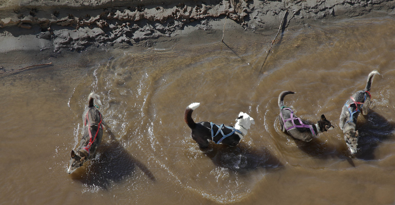 Susan Butcher's sled dogs cooling down after a run.
